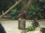 orang utan peelig a coconut